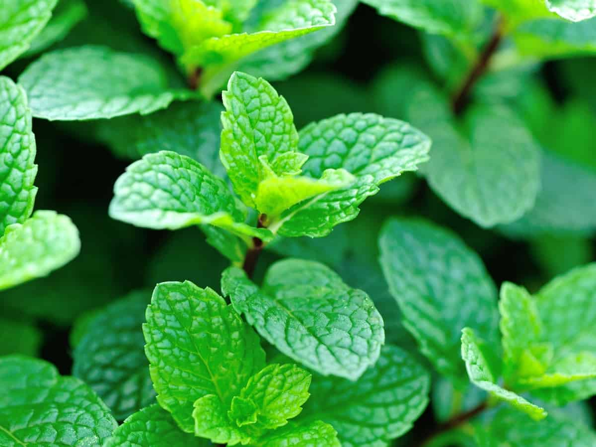 peppermint repels mosquitoes and other pests