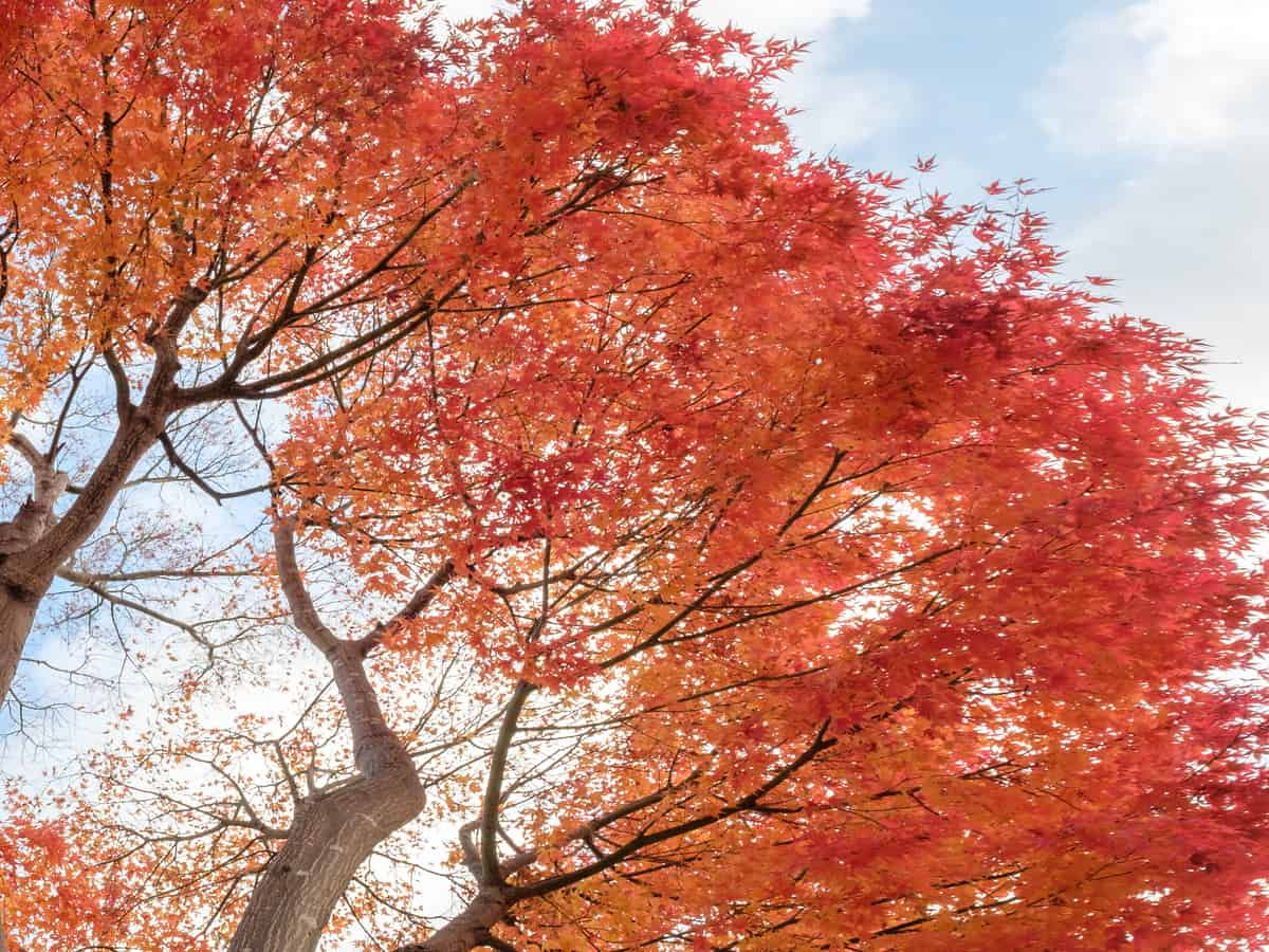 red maple is stunning and grows quickly