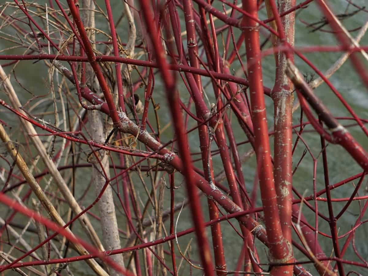 red twig dogwood has an attractive color