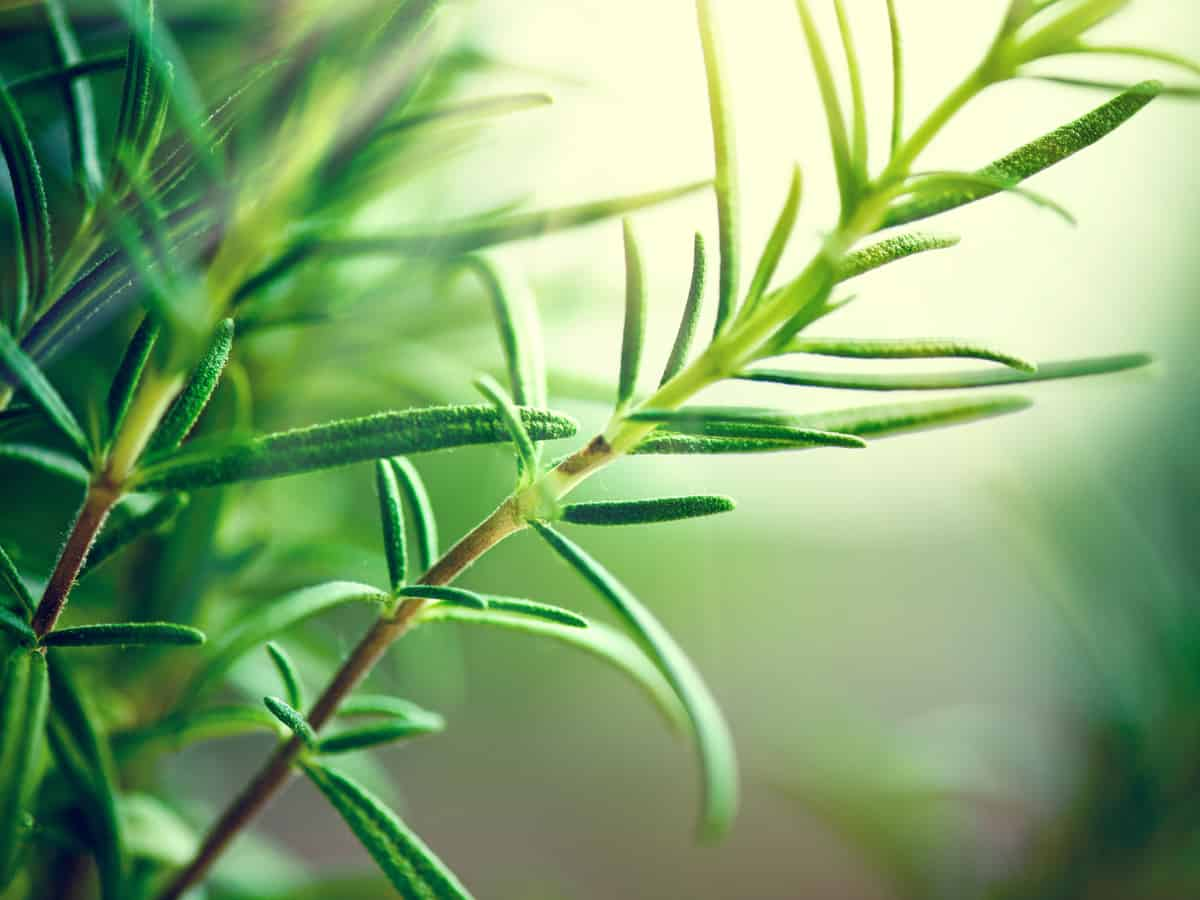 rosemary is great for cooking and repelling mosquitoes