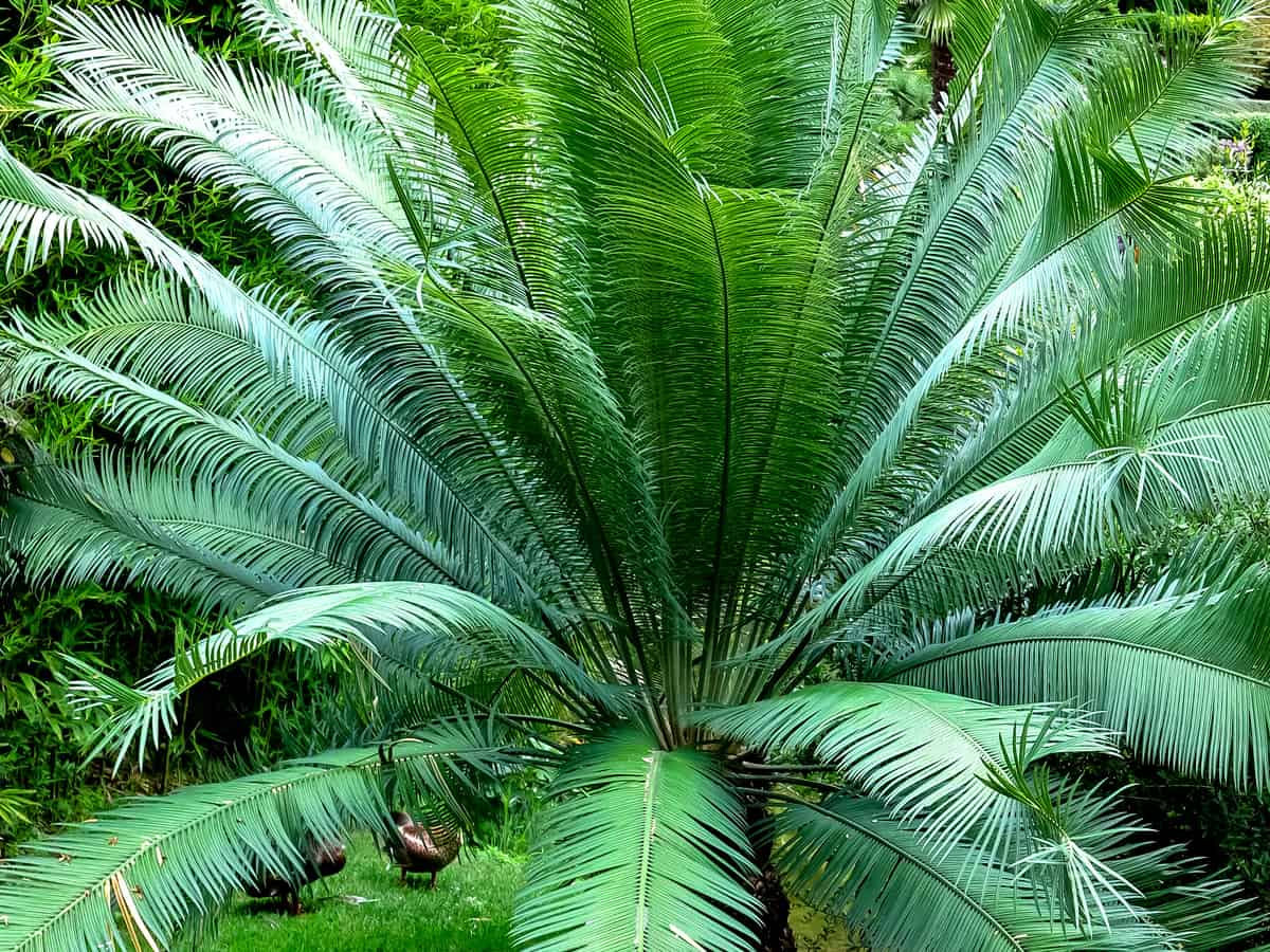 sago palm offers privacy and beauty