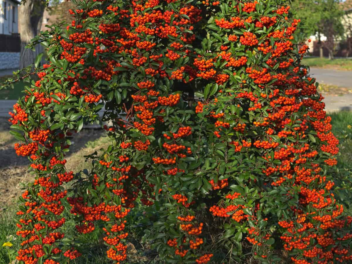sea buckthorn keeps out nosy neighbors and is beautiful too