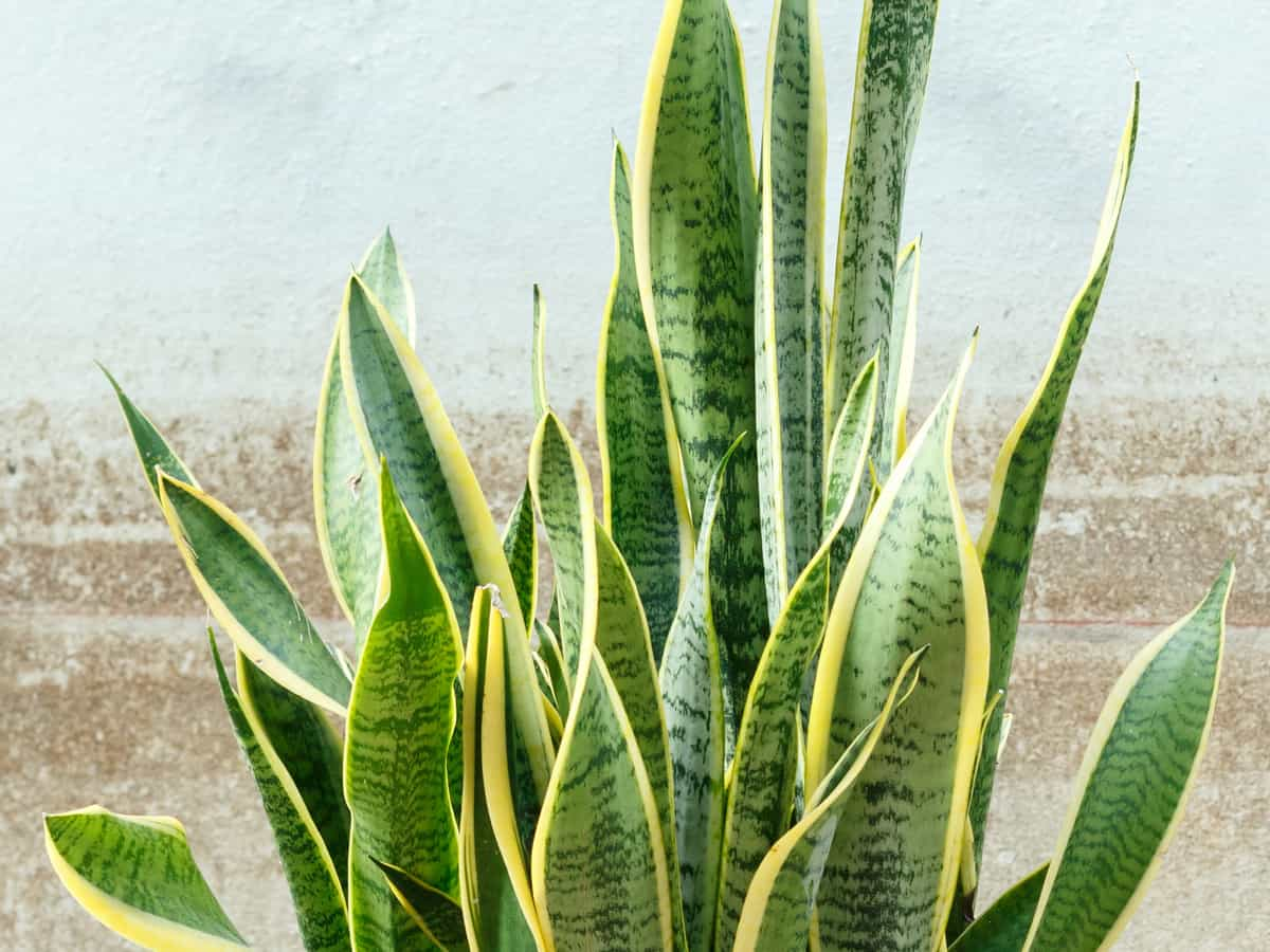 snake plant requires low light