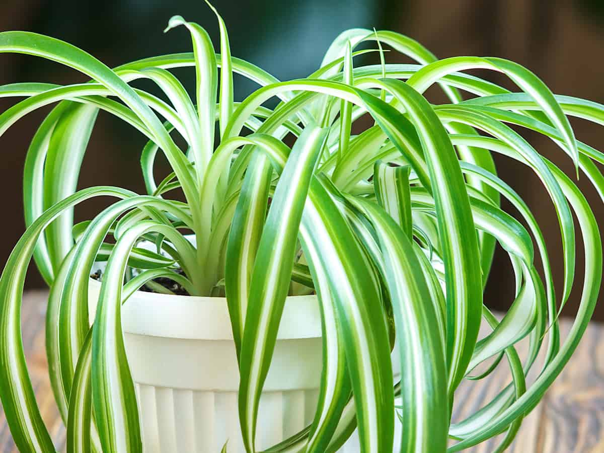 spider plant is a houseplant that likes low light