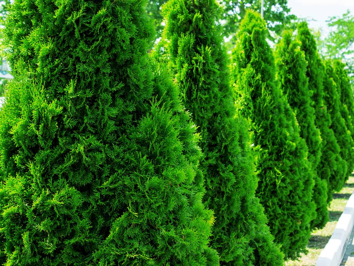 Thuja green giant is a popular tree for privacy purposes