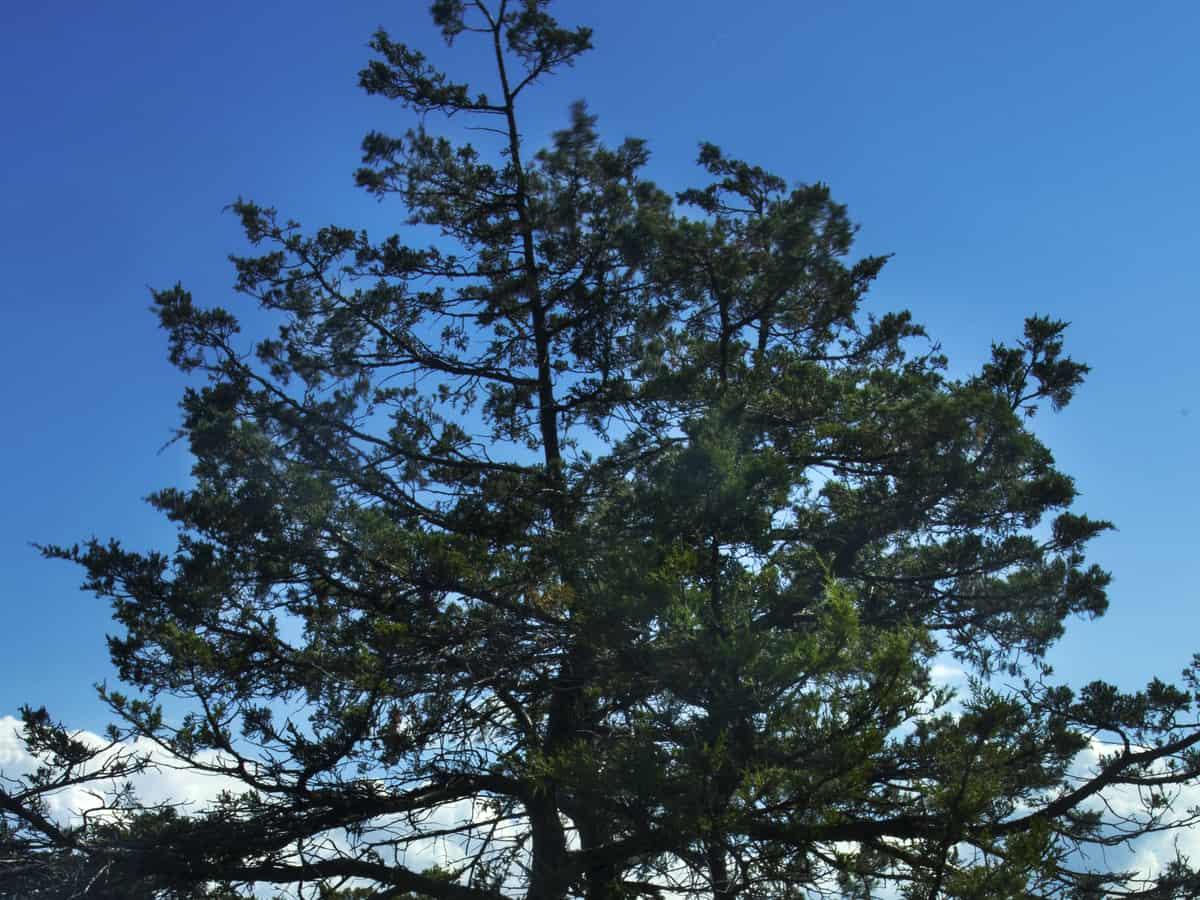 upright juniper is a beautiful emerald color