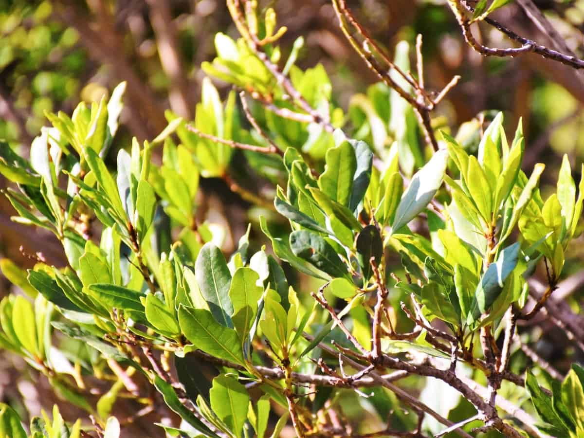 wax myrtle trees are low maintenance