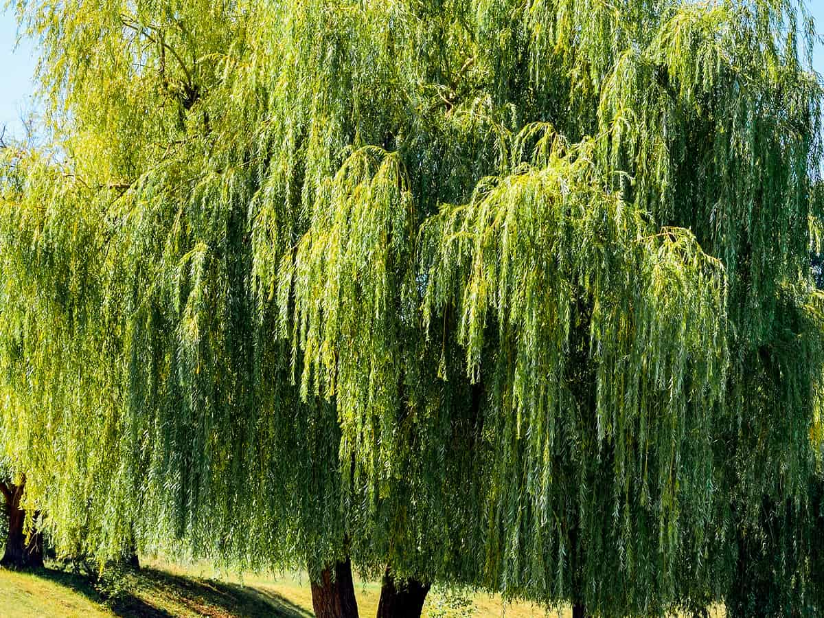 weeping willow provides shade and privacy