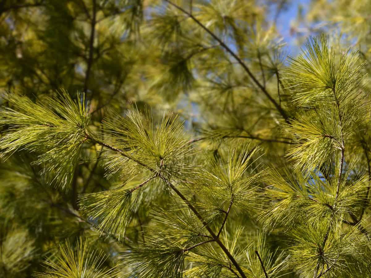 white pine has soft needles