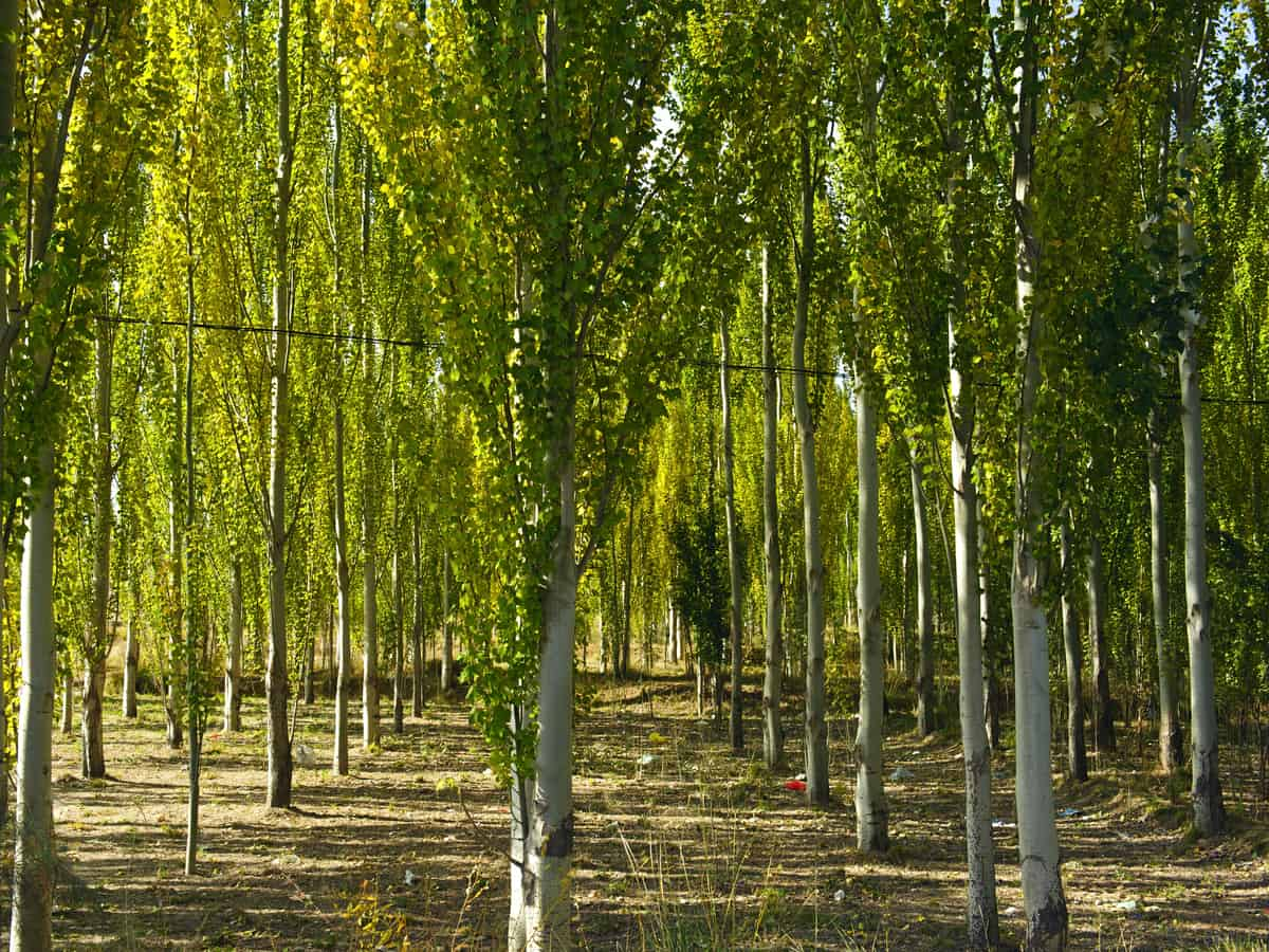 white poplar adds privacy and interest
