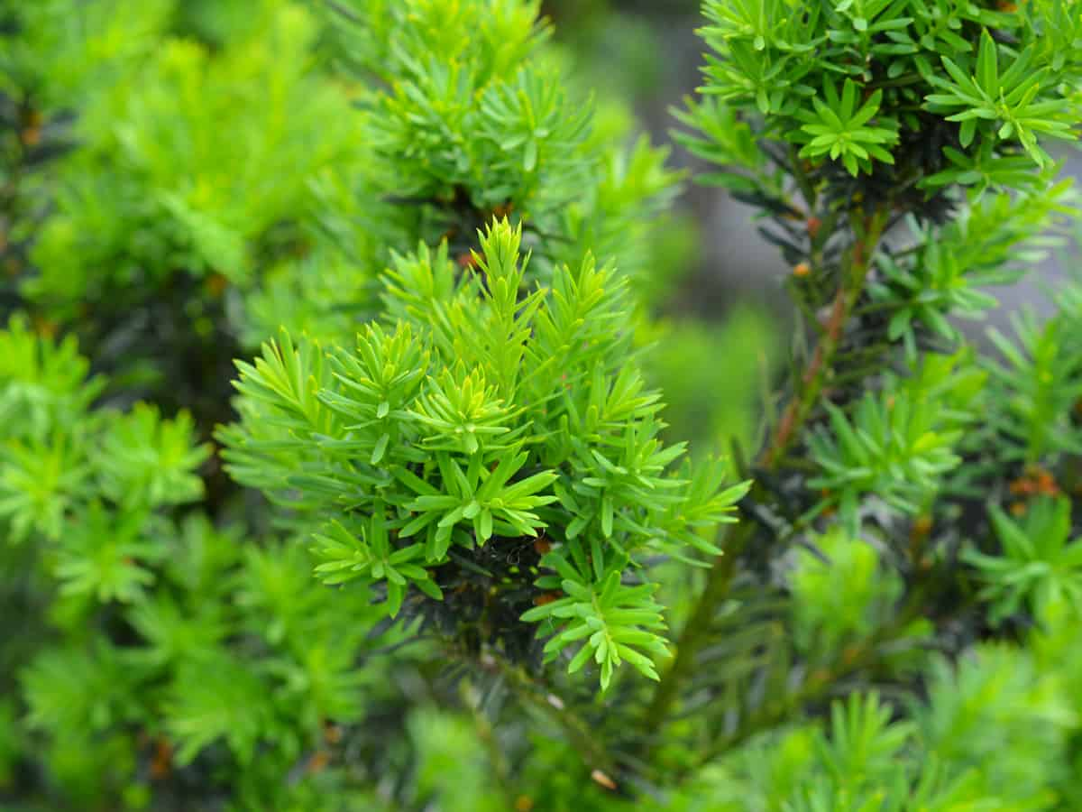 yew is known as the tree of immortality