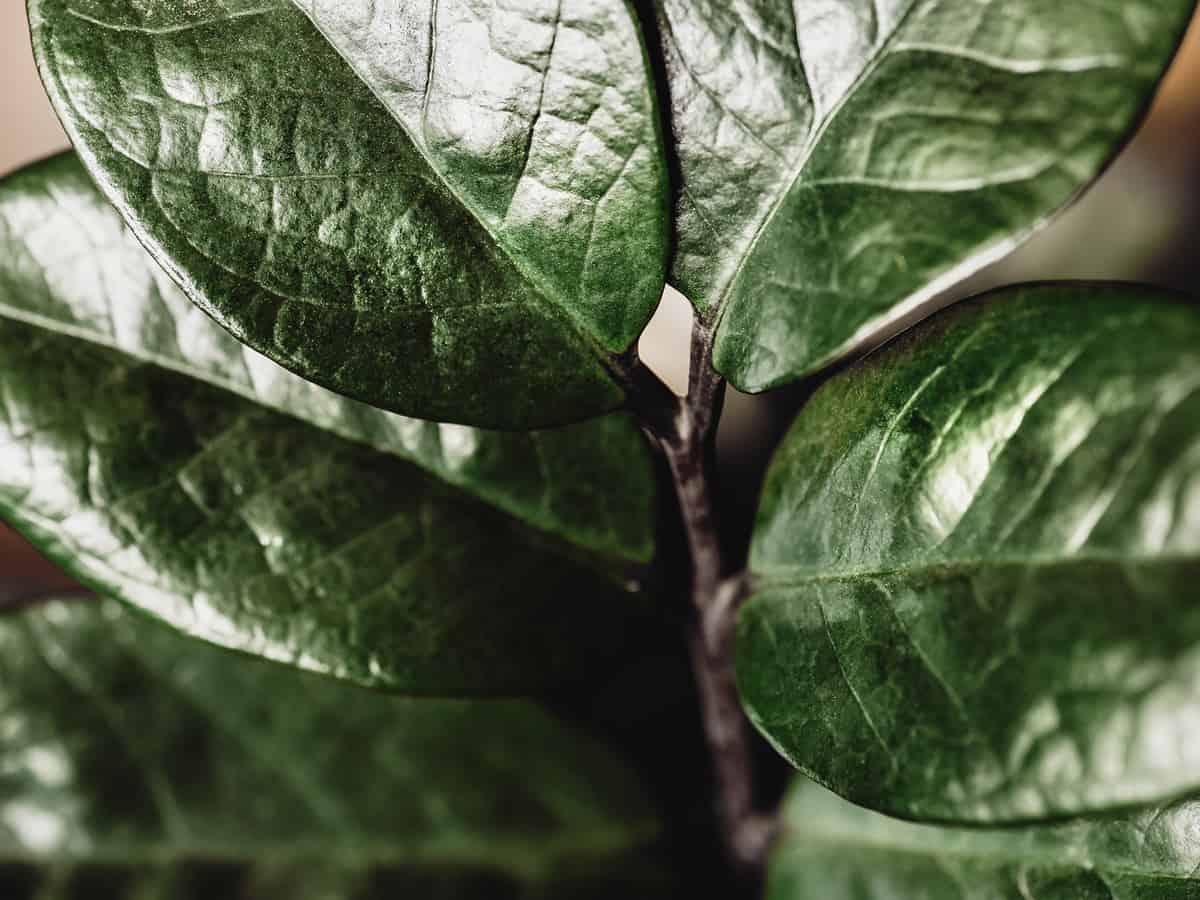 zz plant is poisonous