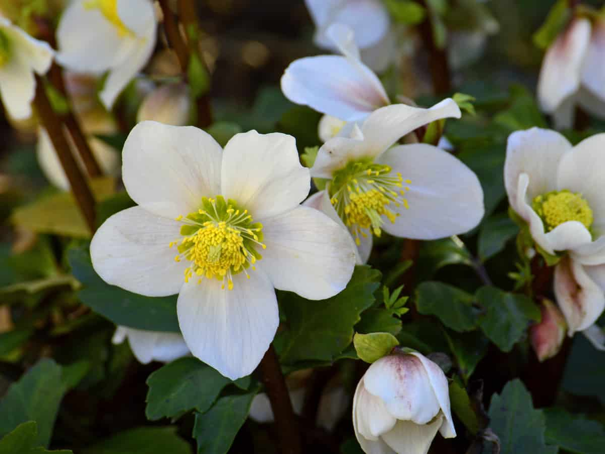 the Christmas rose is also known as the black hellebore