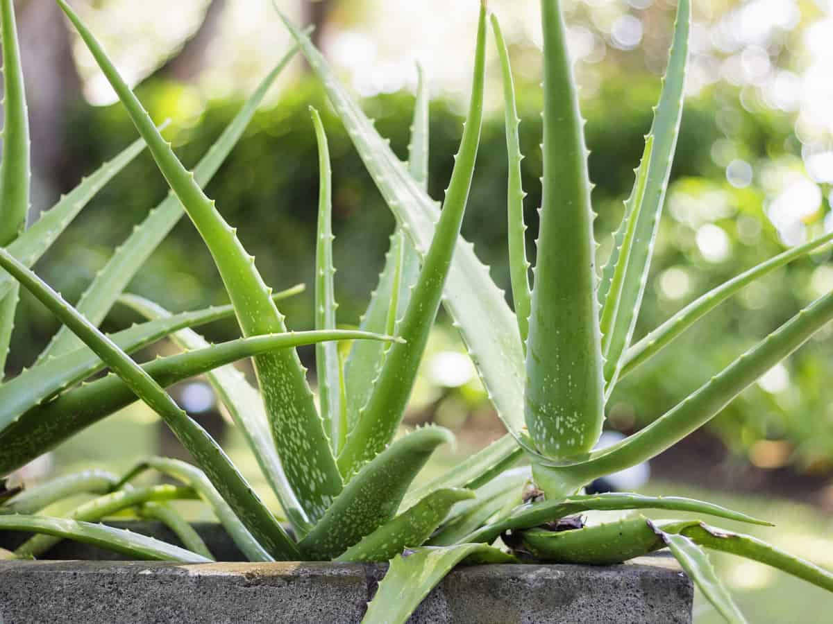 aloe vera is a succulent that is easy to grow