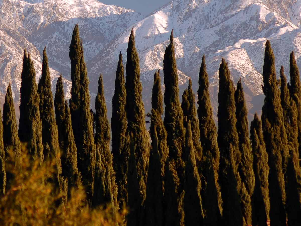 American arborvitae is a tall narrow evergreen that is fast growing