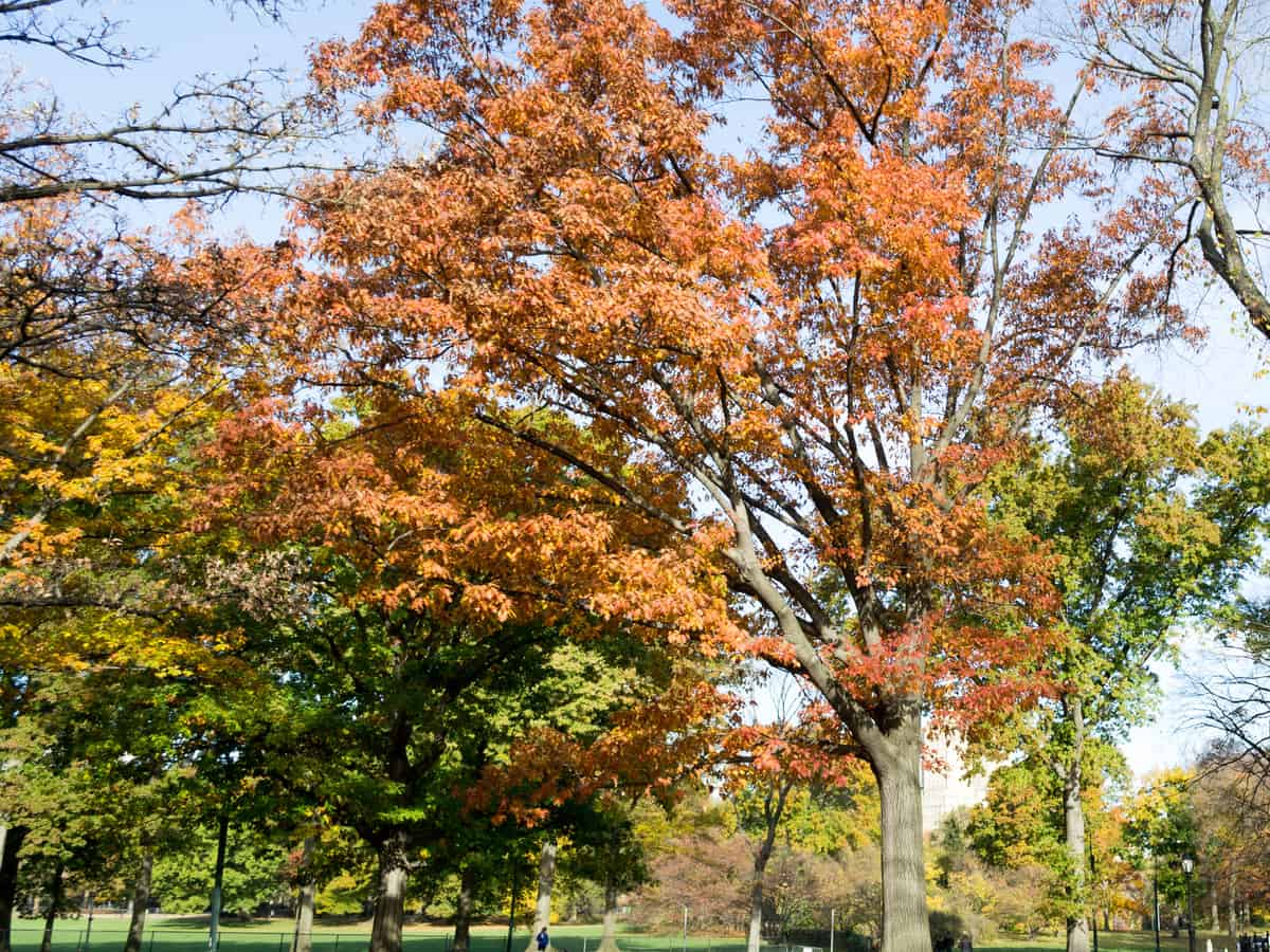 American elm offers a lot of shade and beauty