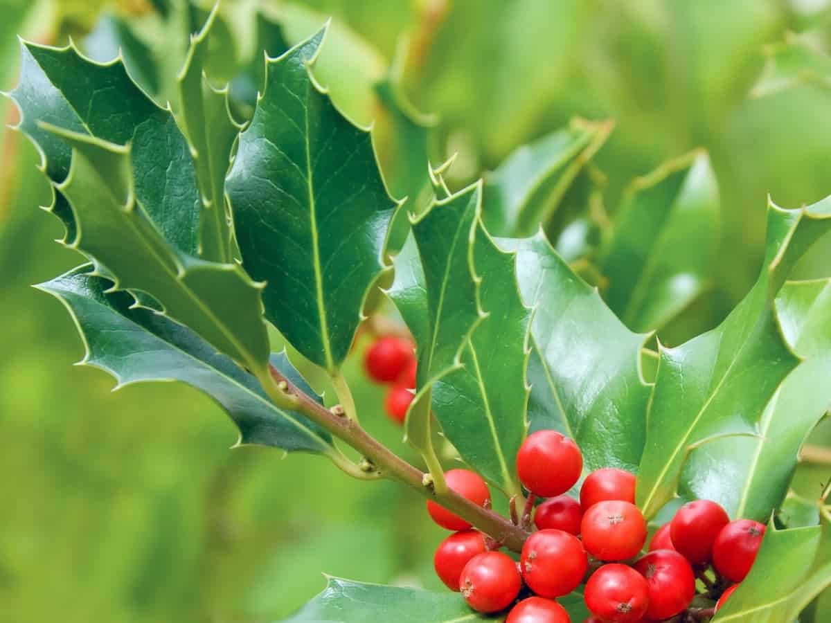 the American holly can survive virtually anywhere