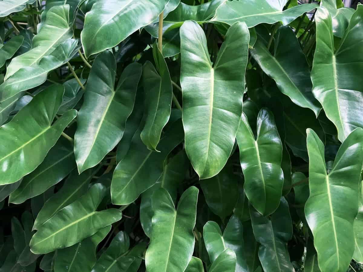 arrowhead plant has distinctly-shaped leaves