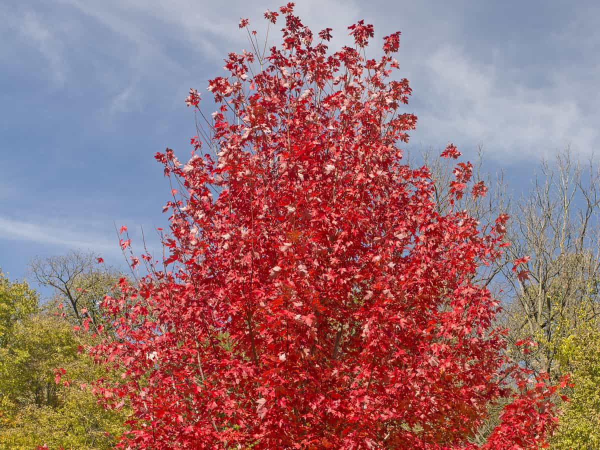 autumn blaze red maple is a fast growing shade tree