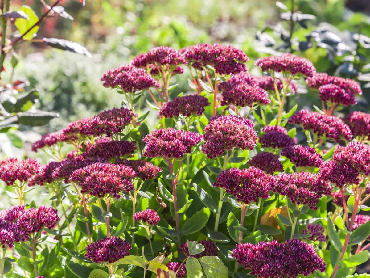 autumn joy is a cross between a sedum and ice plant