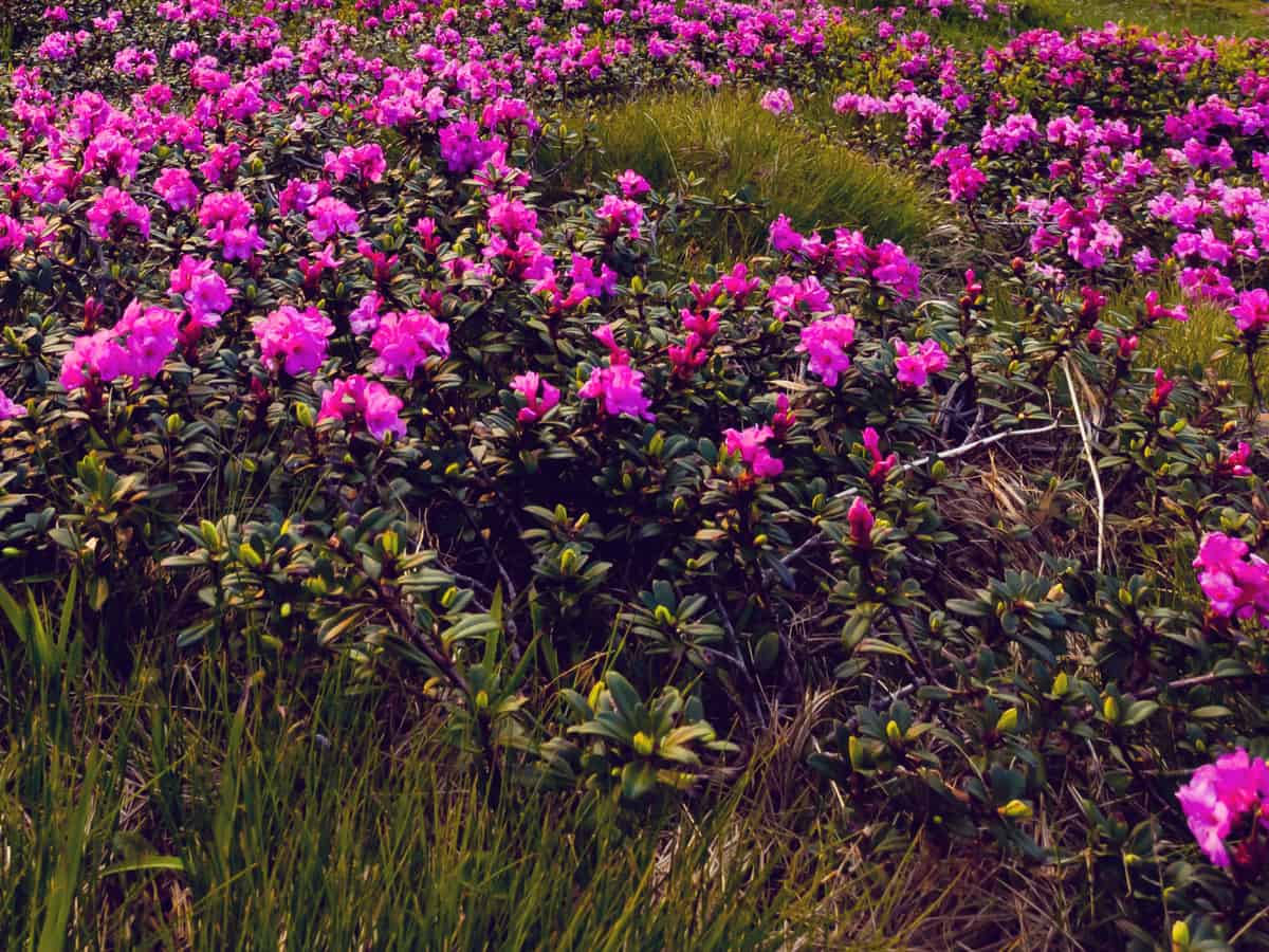 bloom-a-thon pink double azalea requires little maintenance