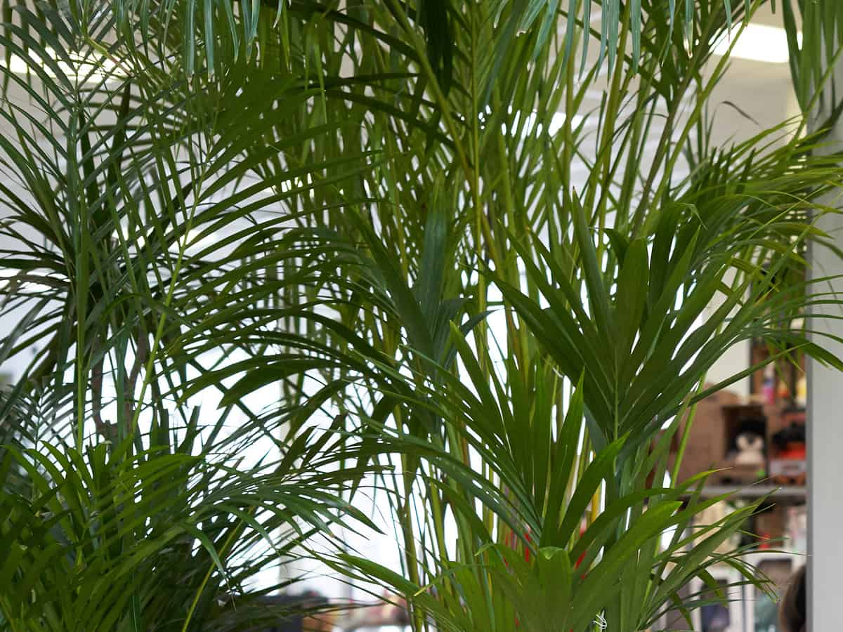 bamboo palm cleans the air of most pollutants