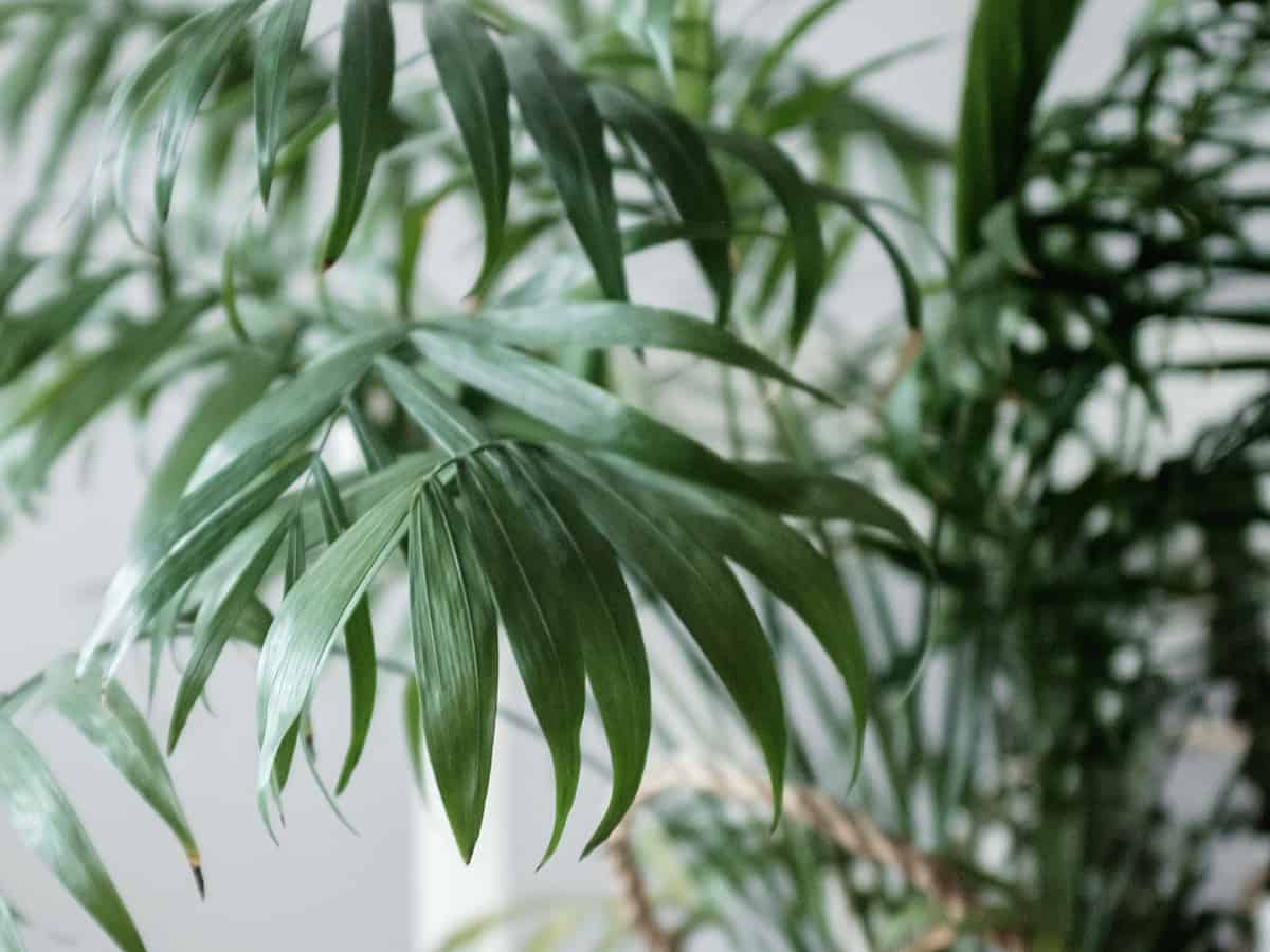 bamboo palm is a great indoor palm tree