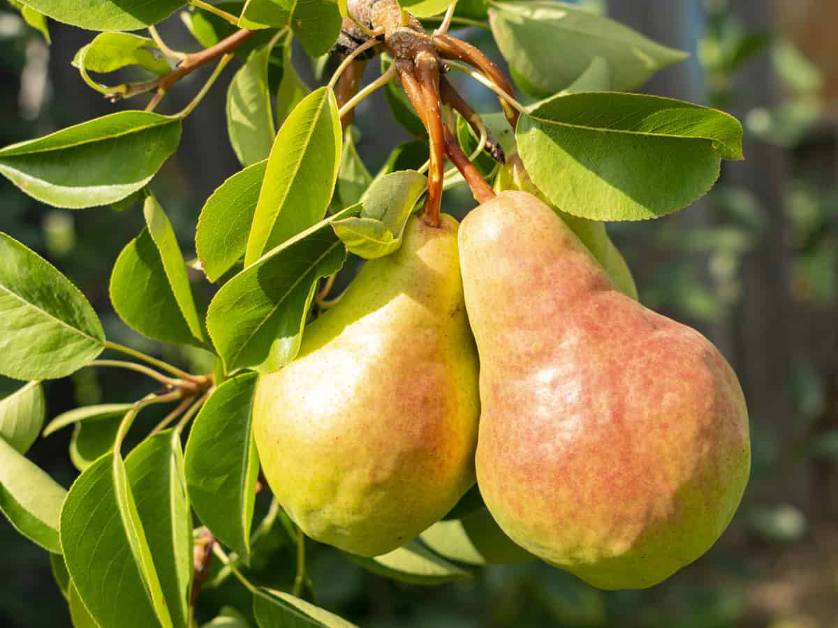 Bartlett pear trees are easy to grow in a mini-orchard on your patio