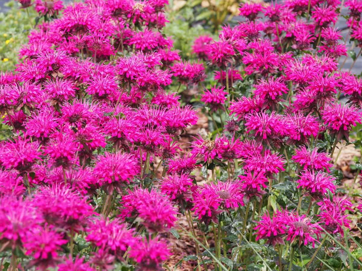 bee balm blooms from spring through fall