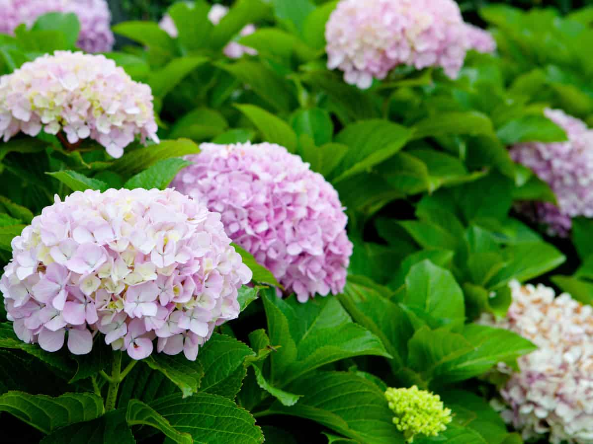 bella Anna hydrangea grows well in cold climates