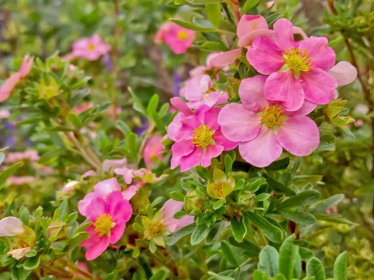 bella belissima potentilla is a hardy, low maintenance shrub