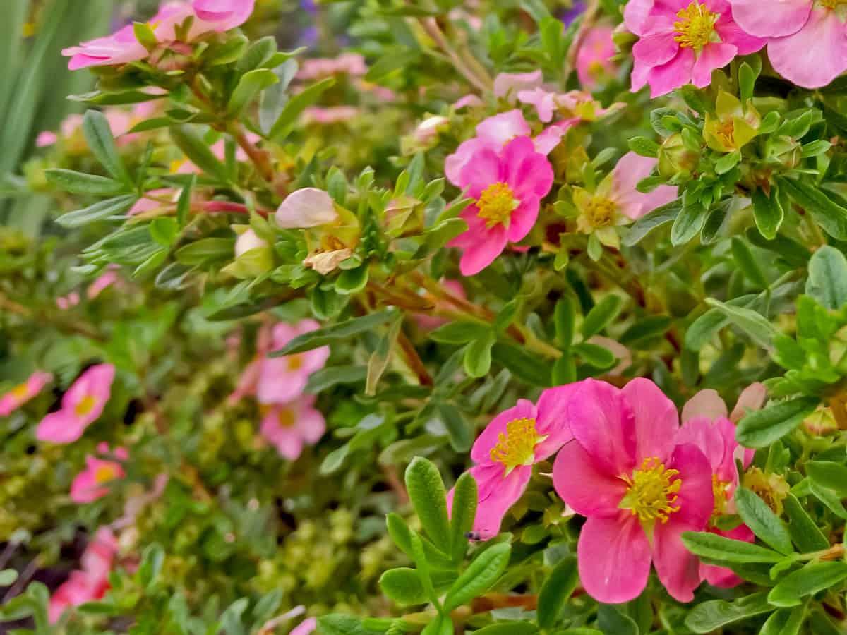 Bella Belissima potentilla is an attractive small flowering shrub