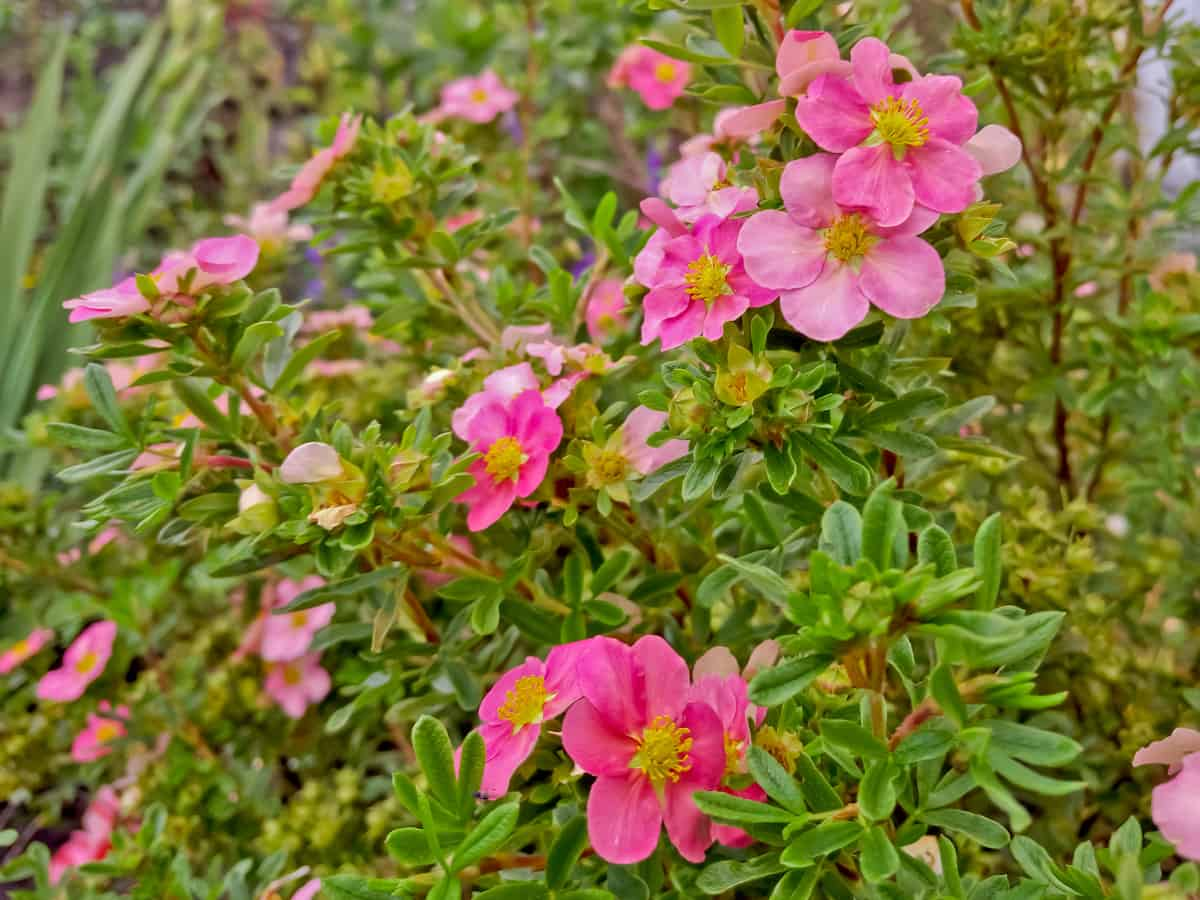 bella belissima potentilla loves the sun and produces pretty pink flowers