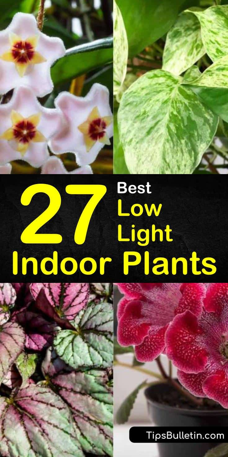 Discover which among the best low light indoor plants are perfect for your light-starved living rooms and offices. Know how to grow a houseplant in pots, window sills, or any room at home without full sun. #indoor #lowlight #plants