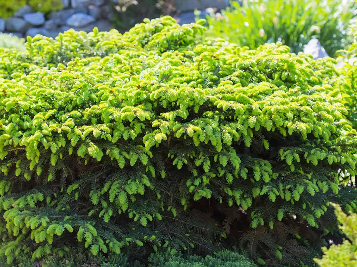 bird's nest spruce grows flat and round