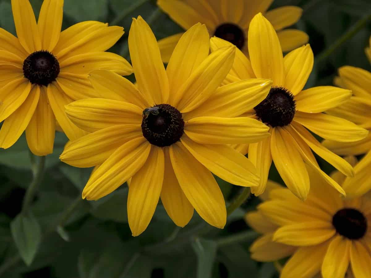 the black-eyed Susan is a herbaceous perennial