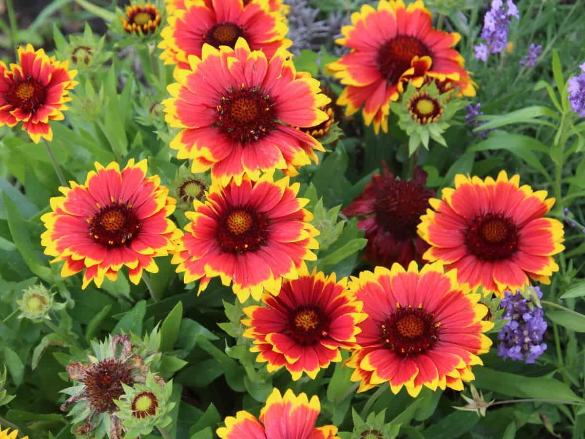 blanket flower offers color all summer