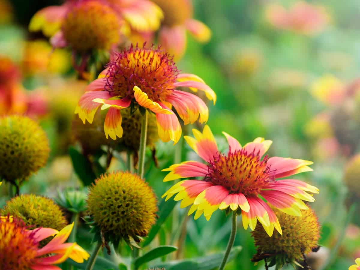 blanket flower is a colorful perennial