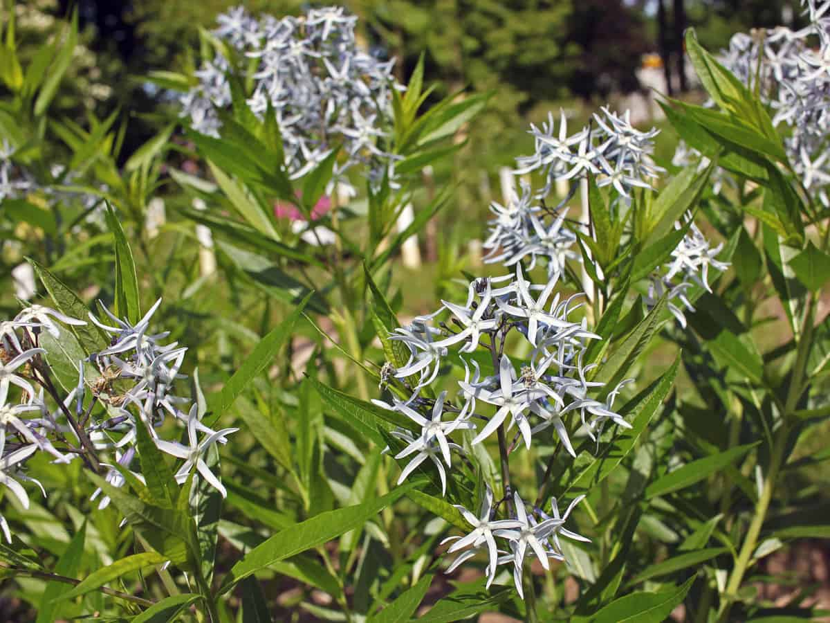 bluestar is a shade-loving flowering perennial