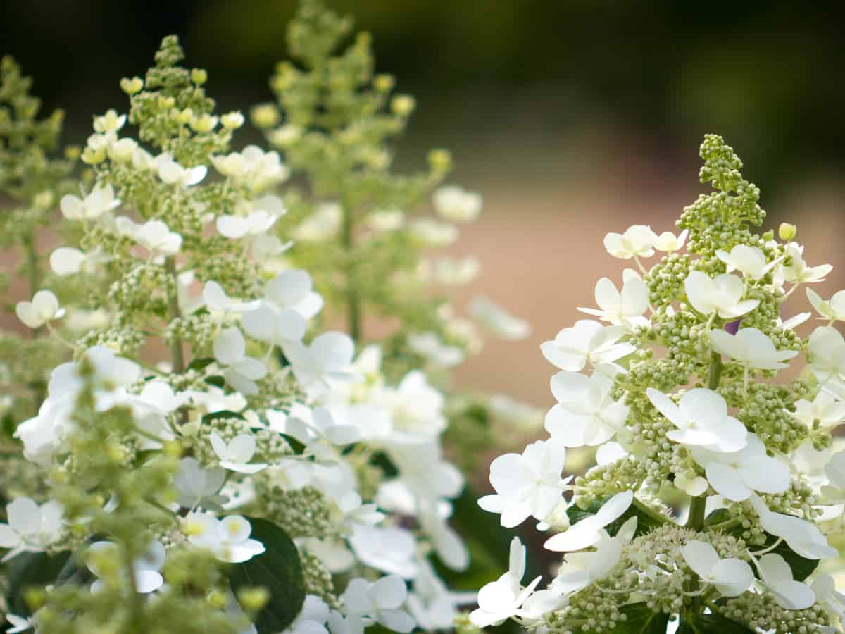 bobo hydrangea is an easy-care shrub that looks great in all seasons