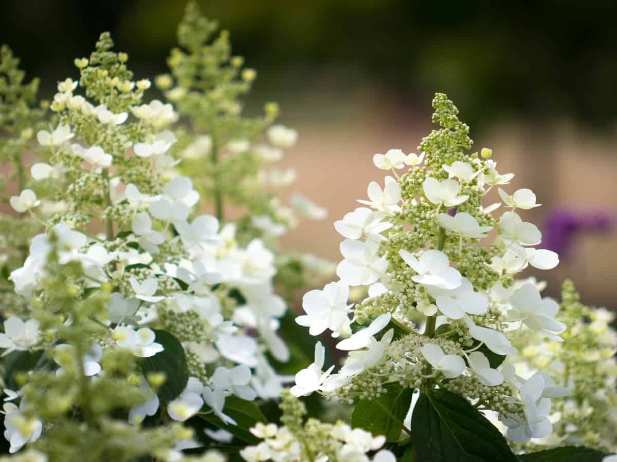 bobo hydrangea is a small flowering shrub that looks great anywhere