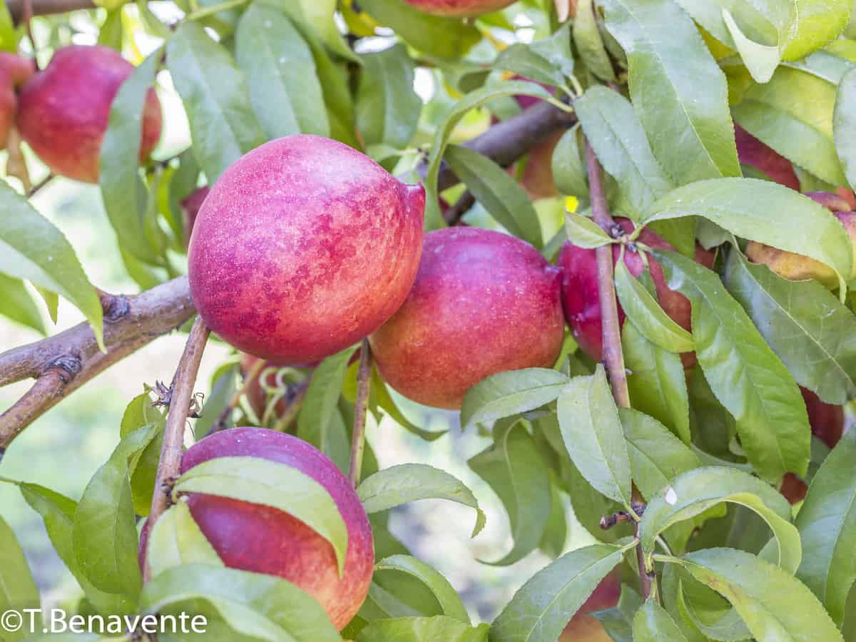 bonfire peach is a beautiful dwarf fruit tree