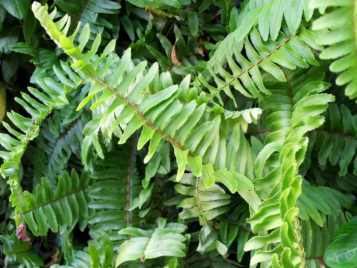 Boston fern enjoys a lot of popularity for growing indoors