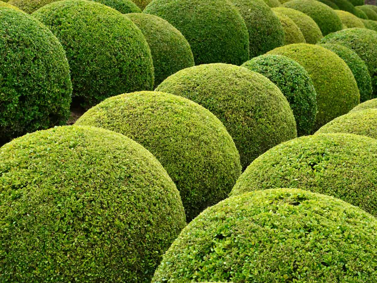 dwarf English boxwood is a slow growing evergreen shrub that is appropriate for a tiny garden