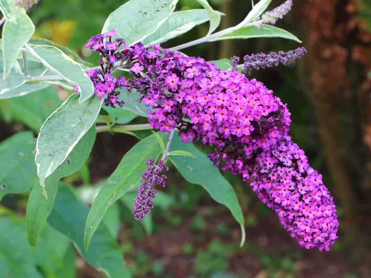 bees, birds, and butterflies love the lo & behold butterfly bush