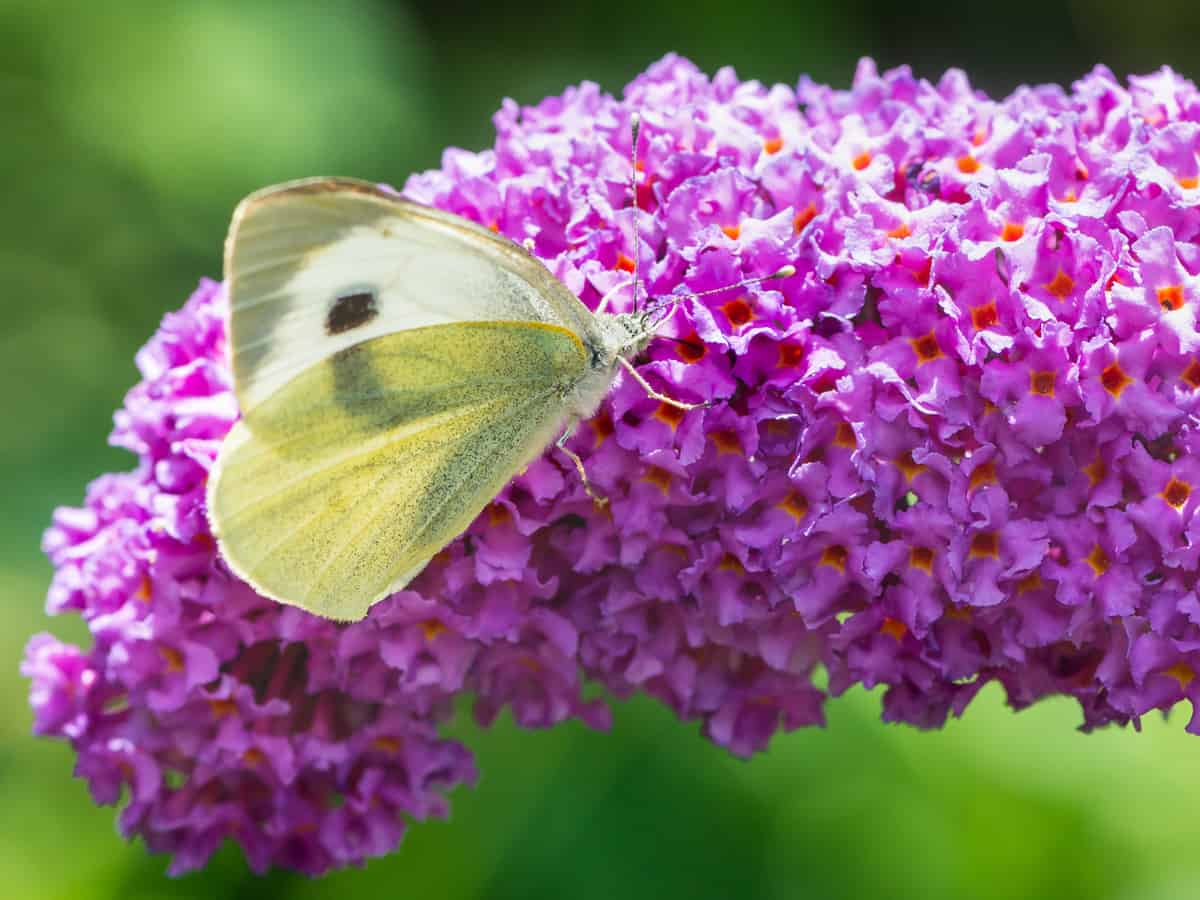 butterfly bush comes in a variety of colors