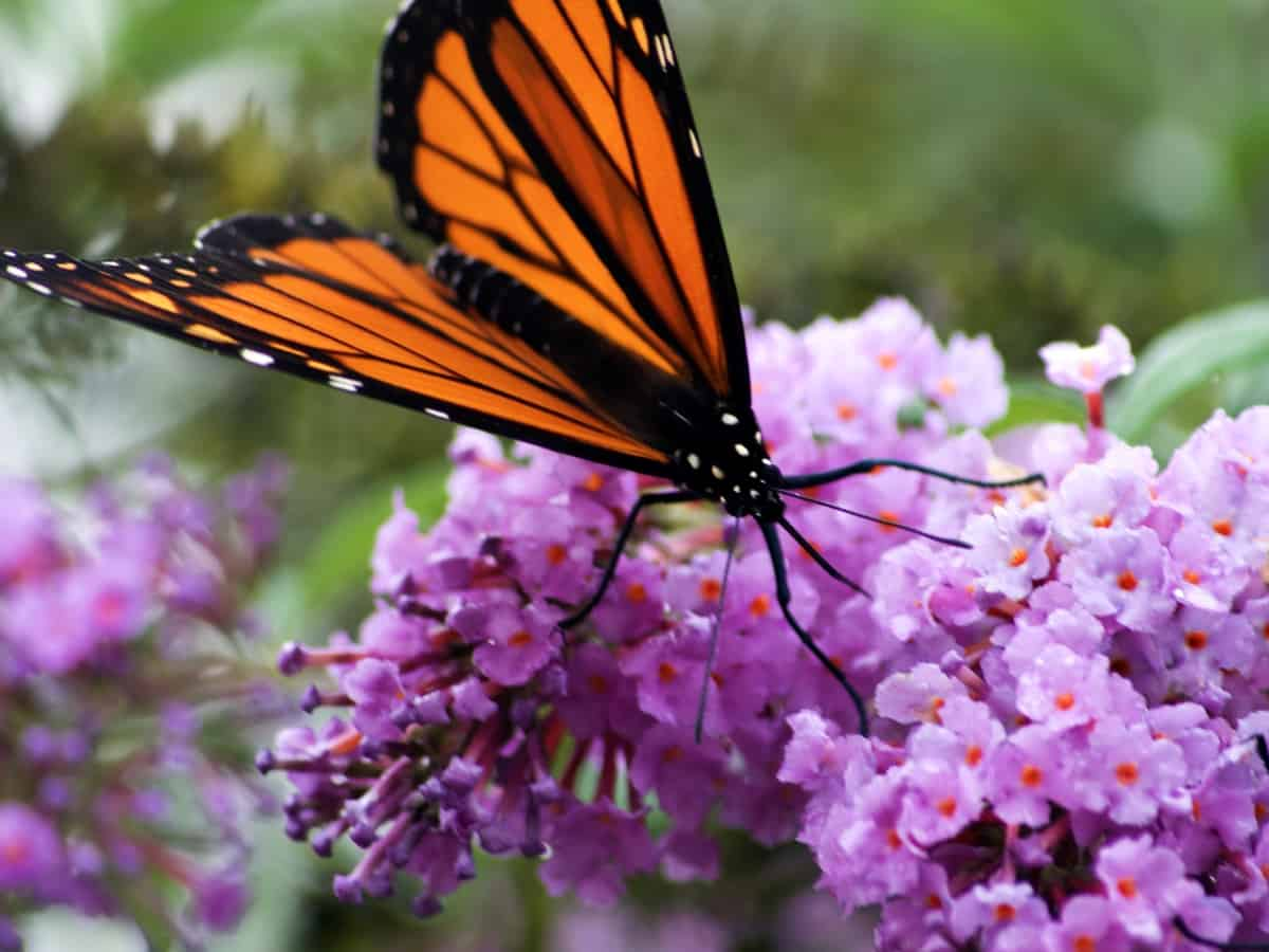 plant a butterfly bush or two to attract bees and butterflies