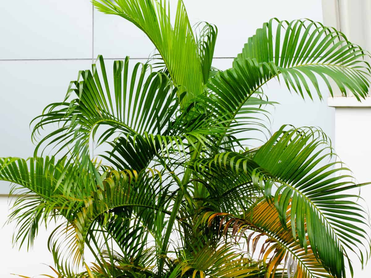 butterfly palm grows well in a container