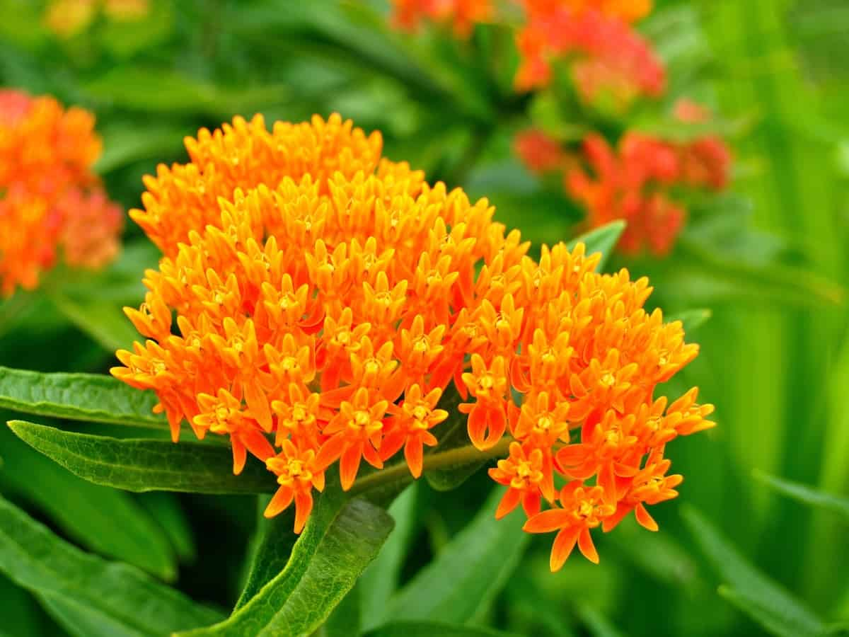 butterfly weed is one of the easiest perennials to grow