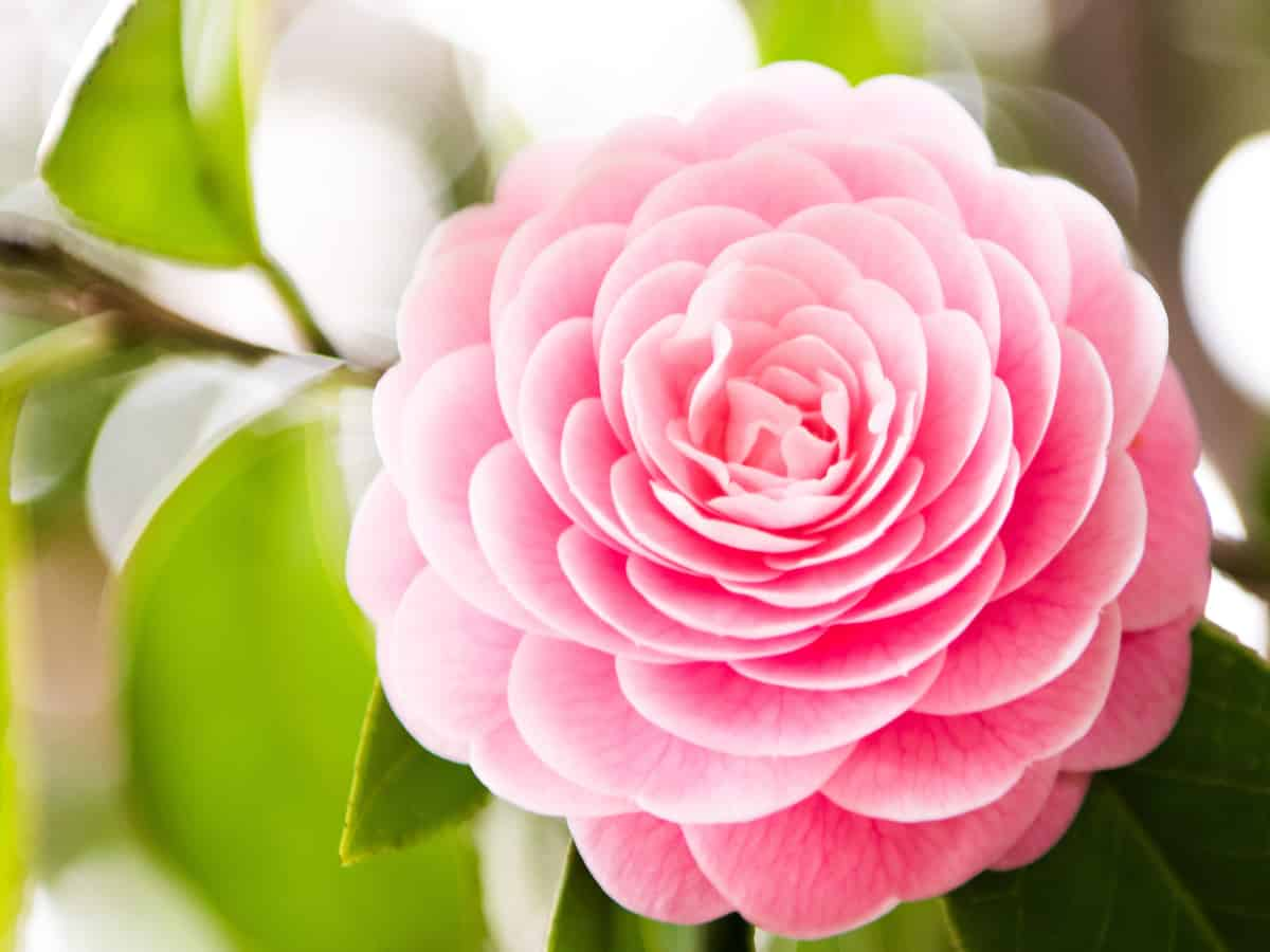 the camellia is a beautiful flowering shrub with extraordinary color